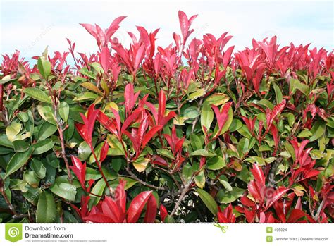 red tipped photinia stock images image