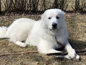 Great pyrenees dog house plans for Great pyrenees dog house plans