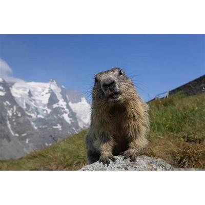 Marmots on the Grossglockner