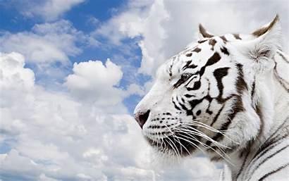 Tigres Blancos Blanco Imagenes Tigre Wallpapers Salvajes