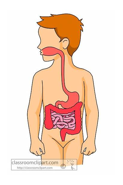 Digestive System Clipart Human Organs Anatomy Science