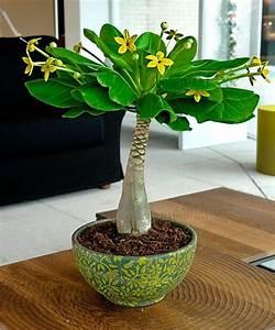 Pflegeleichte Zimmerpflanzen Mit Blüten : pflegeleichte zimmerpflanzen dekorieren ihr zuhause mit stil bonsai ~ Eleganceandgraceweddings.com Haus und Dekorationen