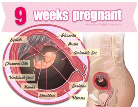 Janin 12 Minggu Now That You Re 9 Weeks Pregnant Your Baby Is About The