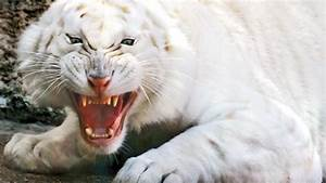 Full HD Wallpaper white tiger striped jaws eerie, Desktop ...