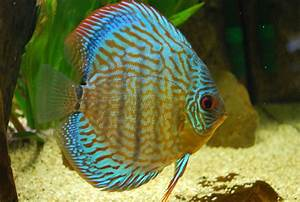 Discus Fish Care - Breeding,Feeding,Diseases & More!!!