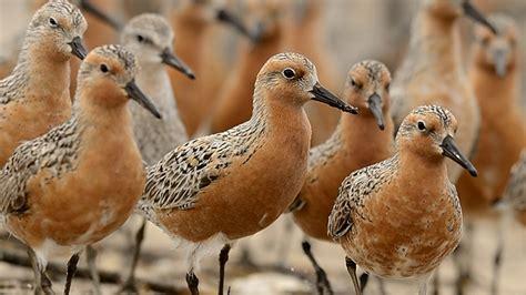 birds knot knots science flies further than aeroplane mj kilpatrick migratory