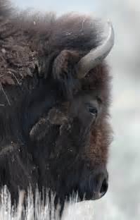 American Bison Animals