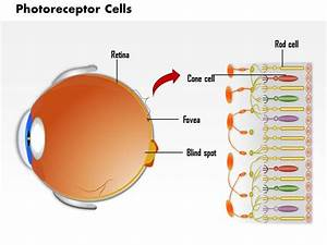 0814 Photoreceptor Cells In The Retina Of The Eye Medical