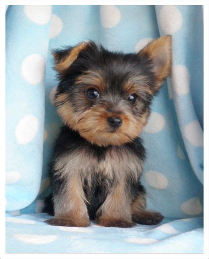 do teacup morkies shed 109 best images about small breeds on