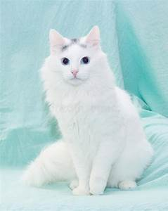 White Fluffy Cat With Blue Eyes Sitting Royalty Free Stock ...