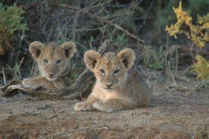 lions  houston zoo