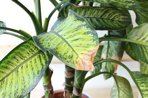 Monstera Gelbe Blätter by Pflanzen Doktor Gelbe Bl 228 Tter Braune Blattspitzen An
