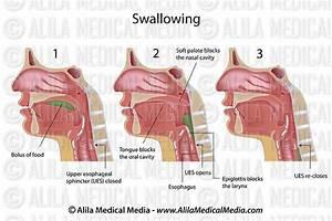 Diagram  Easy Swallow Diagram Full Version Hd Quality