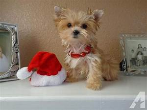 Information About Micro Teacup Yorkie Full Grown Yousenseinfo