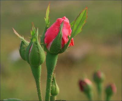 beautiful rosebud bush pictures