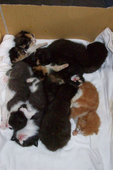 2 week kittens cats images 2 week old kittens wallpaper photos 495048
