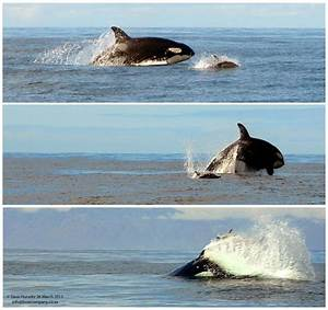 Killer whale action in False Bay - Africa Geographic
