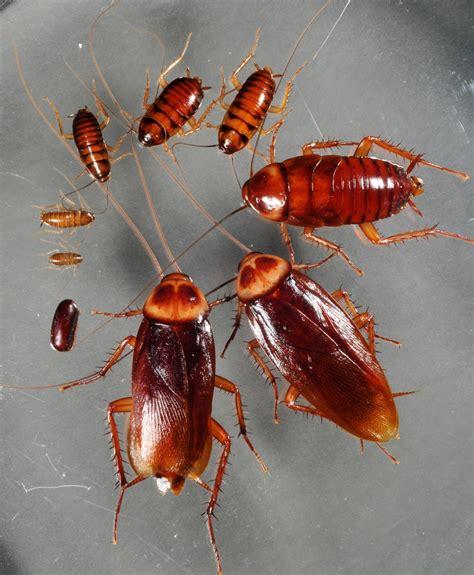 control de plagas tratamientos  como eliminar cucarachas