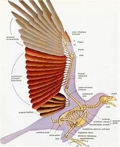 1000  Images About Anatomy  Avian On Pinterest