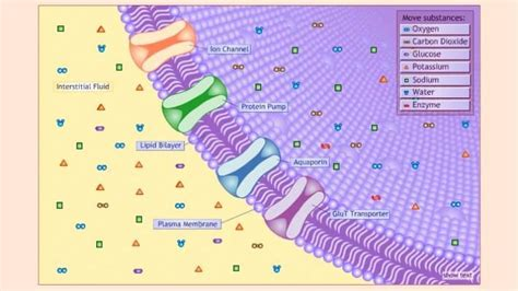 cell membrane just passing through from pbs learning