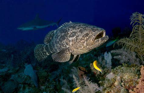 grouper cuba goliath fishing reefs apex