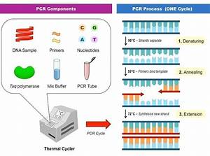 How Does Dna Extraction  Pcr Amplification  And Primer