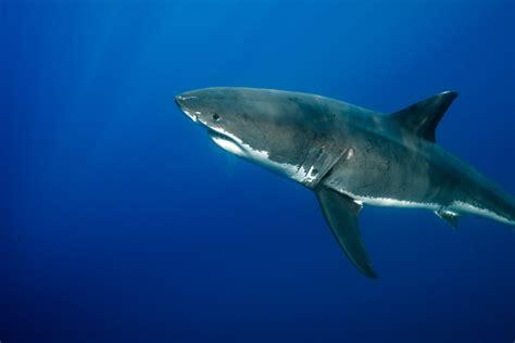 simon bolivar tiburon blanco