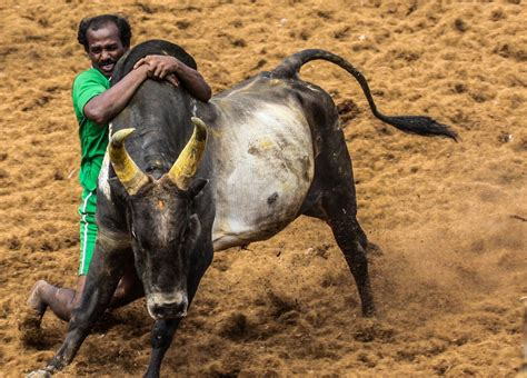 jallikattu  hd wallpapers images backgrounds