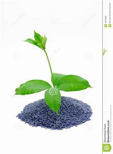Tree Of Rice Stock Image  Image Of Isolate  Nature  Plant