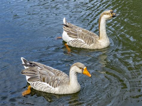Geese also have distinctive markings on. Swan Goose couple | Anser cygnoides (Swan Goose / Ganso ...