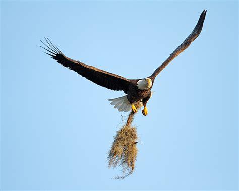 bald eagles sarasota eagles sarasota eagles