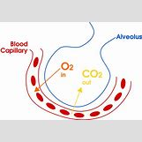 Oxygen And Carbon Dioxide Cycle Simple | 1200 x 823 png 95kB
