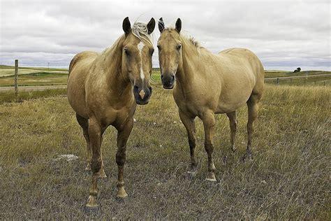 American Quarter Horse Breed Profile