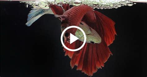 wondered  betta fish breed   beautiful