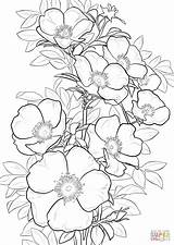 Coloring Rose Cherokee Pages Printable Roses Drawing Nature Colorings sketch template