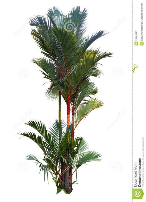 Palmeira Vermelha Da Cera De Selagem Imagem de Stock ...