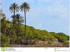 Tall Palm Trees Stock Photo Image 44397081