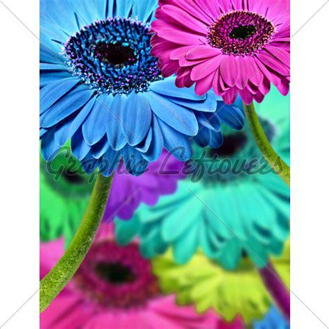 gerbera daisies colors gerbera daisies in different colors 183 gl stock images