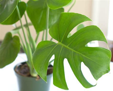 Philodendron Arten Bilder by 12 Plantas De Interior Que Limpiar 225 N Tu Aire Y