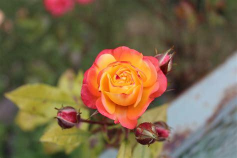 Orangerote Rose Foto & Bild