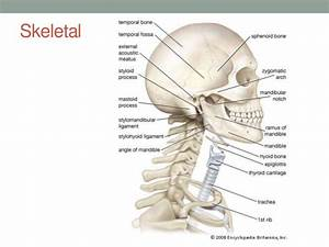 Anatomy Neck Region