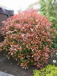 Photinia Red Robin : photinia hedge ~ Michelbontemps.com Haus und Dekorationen