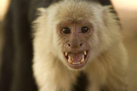capuchin monkey capuchin monkey www pixshark com images galleries with a bite