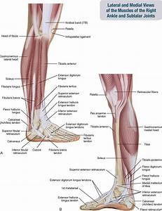 11  Muscles Of The Leg And Foot