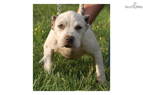 american pit bull terrier puppy  sale