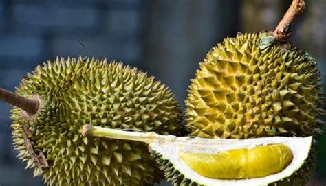 berikut peta perburuan durian enak jalur yogyakarta