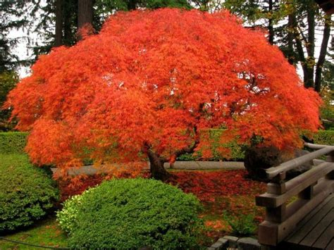 orange japanese maple japanese maple 2 nw show trees pinterest