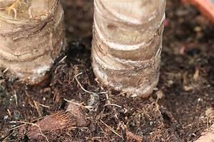 Yucca Palme Garten : ist die yucca palme winterhart infos zur pflege und ~ Lizthompson.info Haus und Dekorationen