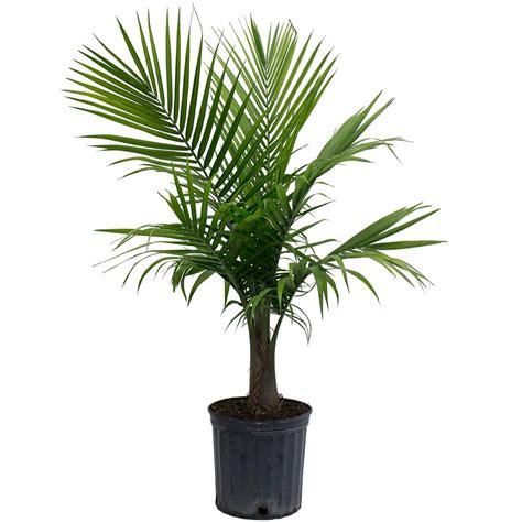 Delray Plants 914 In Majesty Palm In Pot10maj  The