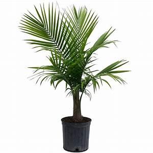Costa Farms Majesty Palm in 9 25 in Grower Pot-10MAJ